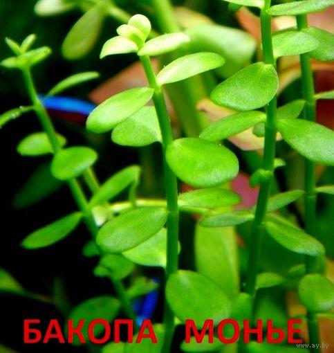 Аквариумные растения. Бакопа монье. НАБОРЫ растений для запуска акваса. ПОЧТОЙ и МАРШРУТКОЙ отправлю.
