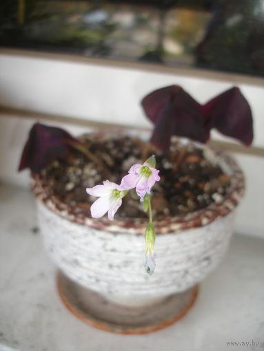 Кислица Oxalis молодое растение в горшке