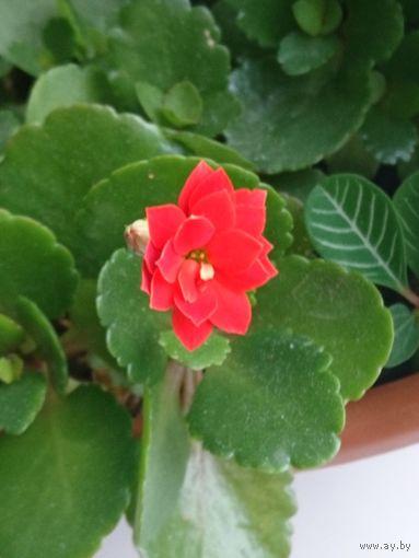 Каланхоэ каландива красного окраса
