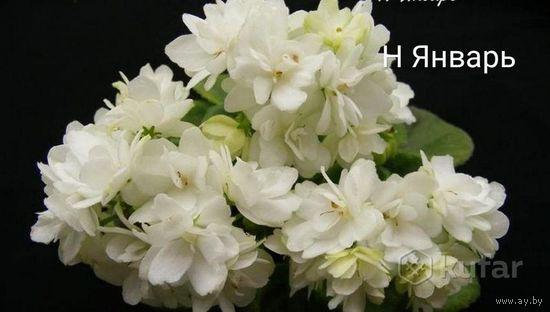 Фиалка Н Январь мини, детка