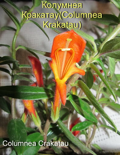 Колумнея Кракатау(Columnea Krakatau или Сrakatau)-красавица!