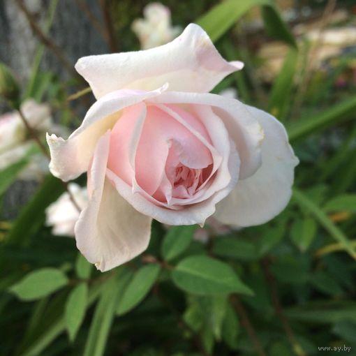 Роза ароматная